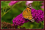 From My Wife's Garden, Butterfly On Summer Lilac by corngrowth, Photography->Butterflies gallery